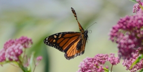 butterfly_top