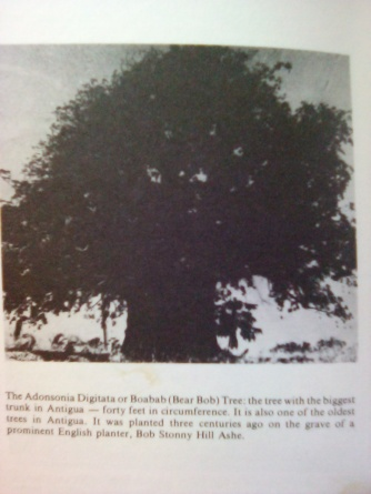 baobab tree in the book